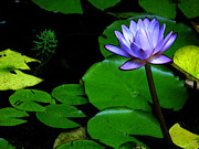Sue Taylor - Water Lily II