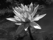 White Water Lilies Photos - Water Lily in Black and White by Marion McCristall
