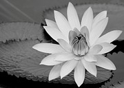 Water Lily Picture Prints - Water Lily in Black and White Print by Sabrina L Ryan