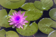 Water Lily In Comic Relief Print by Joan Carroll