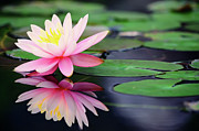 Lake Metal Prints - Water Lily In Lake Metal Print by Anakin Tseng
