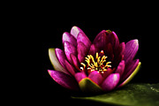 Water Lily Pond Posters - Water Lily In Pond On Dark Background Poster by Alexandre Fundone