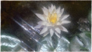 White Waterlily Framed Prints - Water Lily in Sunlight Framed Print by Jeff Kolker