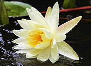 White Lotus Posters - Water Lily in White Poster by Elizabeth Budd