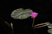 Botanica Photos - Water Lily by Jorge Mejias
