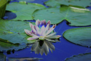 Water Lily Pond Prints - Water Lily  Print by Karol  Livote