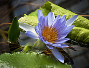 Conservatory Of Flowers Photos - Water LIly by Kenneth Hadlock