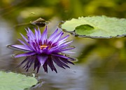 Water Garden Photos - Water Lily Kissing the Water by Sabrina L Ryan