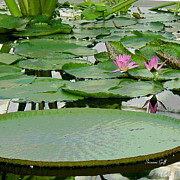 Water Lily Land IIi Print by Suzanne Gaff