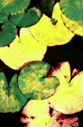 Waterlily Art - Water lily leaves by Gaspar Avila