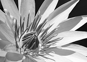 Hawaiian Pond Prints - Water Lily Macro in Black and White Print by Sabrina L Ryan