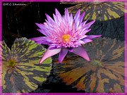 Waterlilies Mixed Media Posters - Water Lily Magic Poster by M C Sturman