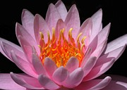 Water Lily On Fire Print by Sabrina L Ryan