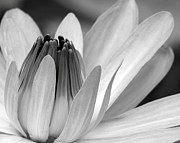 White Water Lilies Photos - Water Lily Opening by Sabrina L Ryan