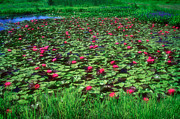 Cultivation Prints - Water Lily Pond Print by Susan Isakson