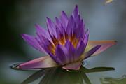 Water Lily Print by Rachel  Harris