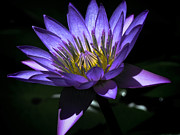 Water Lily  Reveal Print by Karen Lewis