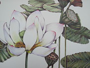 Pods Drawings Framed Prints - Water Lily Framed Print by Sally Franklin