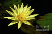 Lily Pad Photo Posters - Water Lily Poster by Sandra Bronstein