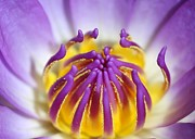 Water Lily Sticky Fingers Print by Sabrina L Ryan