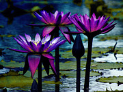 Trio Prints - Water Lily Trio Print by Karen Lewis