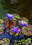 Lotus Blossoms Framed Prints - Water Lily Trio Framed Print by Kerri Ligatich