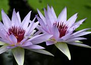 Sabrina L Ryan - Water Lily Twins
