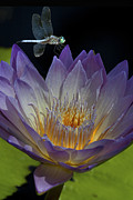 Prety Posters - Water Lily with Dragonfly Poster by Jeff Grabert