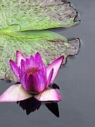 Eric  Schiabor - Water Lily with Rain...