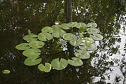 Lilly Pad Photos - Water Reflection by Travis Garwood