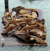California Sea Lions Prints - Water Setters Print by Ty Helbach