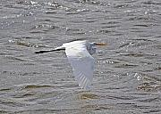 Egret Originals - Water Skimming by Kenneth Albin