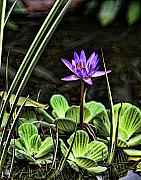 Shari Jardina - Watercolor Lily