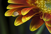 Vibrant Floral Art - Waterdrop on a Gerbera Daisy petal by Zoe Ferrie
