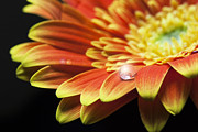 Flare-up Prints - Waterdrop on the petal of a orange Gerbera Daisy with lens flare Print by Zoe Ferrie