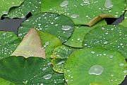 Beauty Photo Prints - Waterdrops on lotus leaves Print by Silke Magino