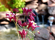 Garden Scene Digital Art Posters - Waterfall and Columbine I - Pride of Colorado Poster by Christine S Zipps