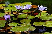 Gaspar Avila Framed Prints - Waterlilies Framed Print by Gaspar Avila