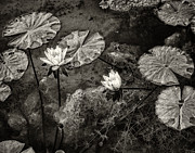 Water Plants Photos - Waterlilies in Sepia by Marion McCristall
