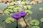 Jim Bunstock - Waterlilies