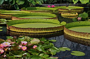 Byron Varvarigos - Waterlilies North And South