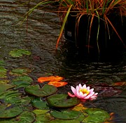 The Lotus Flower Prints - Waterlily in the Rain 2 Print by CJ Carroll
