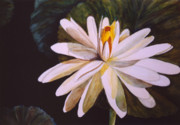 White Waterlily Paintings - Waterlily on Black by Sally Storey Jones