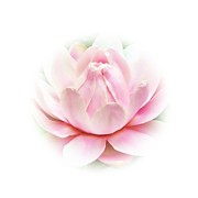 Waterlily Art - Waterlily pink by Sharon Lisa Clarke