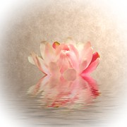 Lilies Digital Art - Waterlily by Sharon Lisa Clarke