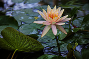 White Waterlily Framed Prints - Waterlily star Framed Print by Garry Gay