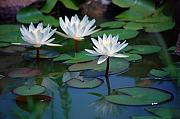 White Waterlily Framed Prints - Waterlilys Framed Print by Robert Meanor