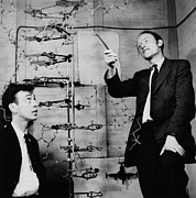 Medicine Photo Posters - Watson and Crick Poster by A Barrington Brown and Photo Researchers