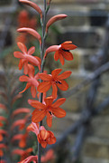 Stanford Metal Prints - Watsonia stanford Scarlet Flowers Metal Print by Adrian Thomas