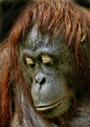 Orangutan Framed Prints - Wattana Framed Print by Julie L Hoddinott